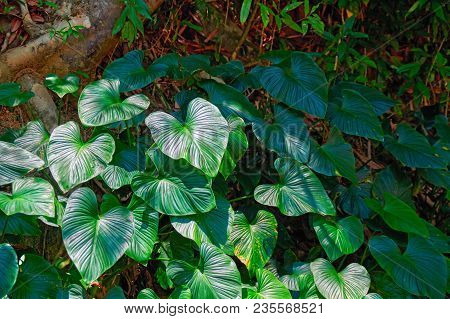 Tropical Broad-leaved Plants In The Jungle Rainforest. Play Of Light And Shadow. Copy Space.