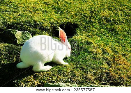 White Rabbit On The Green Grass. Easter Concept With Space For Text