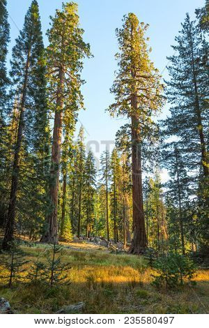 Giant Forest in the rays of the setting sun, Sequoia National Park, Tulare County, California, United States.