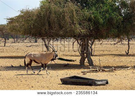 Arabian Oryx Or White Oryx (oryx Leucoryx) In Reserve, Natural Habitat, Goes To Its Trough. Uae, Abu