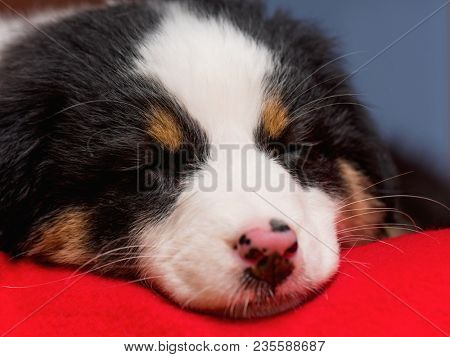 Australian Shepherd purebred puppy, 2 months old sleeping on the lair. Black Tri color Aussie dog at home.