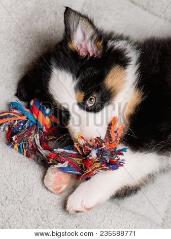 Australian Shepherd purebred puppy, 2 months old with toy. Black Tri color Aussie dog at home on the lair.