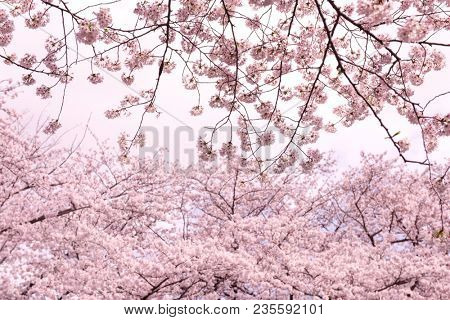 Cherry blossom treet tops and branches   at peak blossom season.  Impressional pastel pink tone, focus on foreground.