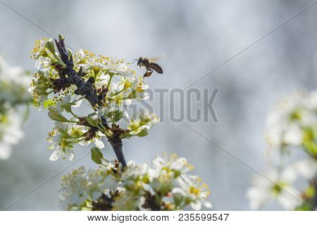 Bee On White Plum Flower With Pollen In Springtime. Close Up Macro Of Bee On Plum Blossom