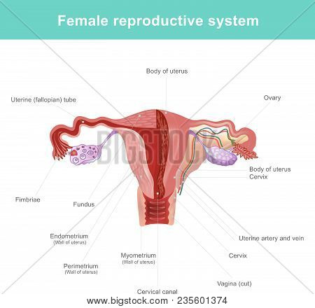 The Female Reproductive System (or Female Genital System) Contains Two Main Parts The Uterus, Which