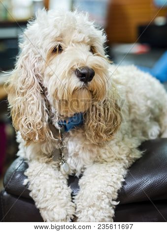 Portrait Of A Fluffy Spoodle Or Cockapoo Dog. The Popular Breed Is A Mix Between Cocker Spaniel And