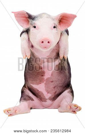 Portrait Of A Funny Little Pig Sitting Isolated On White Background