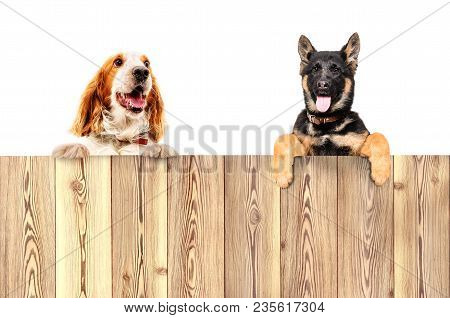 Portrait Of Two Dogs, Peeking From Behind A Fence, Isolated On White Background