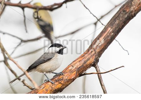 Chickadee Bird Perched On A Large Tree Limb
