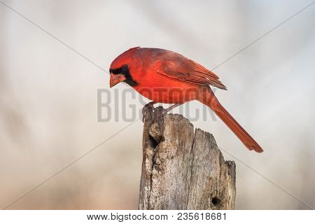 Northern Male Cardinal Bird Perched On Old Fence Post
