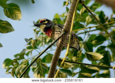 Coppersmith Barbet (megalaima Haemacephala) Closed Up Head Bird On Tree
