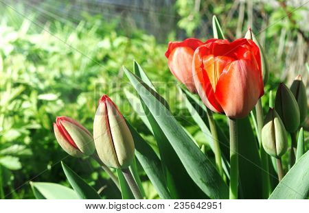 Several Red Tulips On A Spring Sunny Day