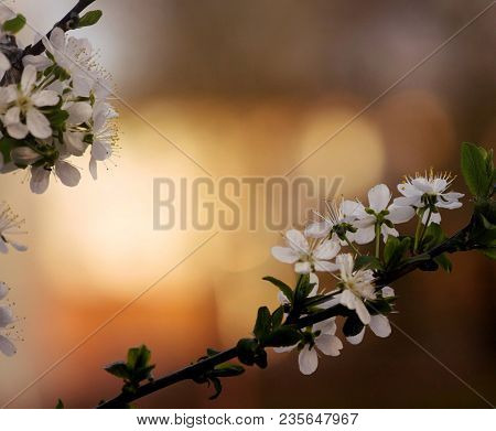 Flowers Of Cherry Tree. Blooming Branch Of Cherrytree. Spring Tree In Blossom