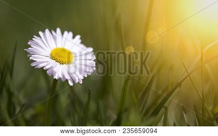 Springtime, Spring Concept - Web Banner Or Mothers Day Card Of A White Daisy Flower In Green Grass W