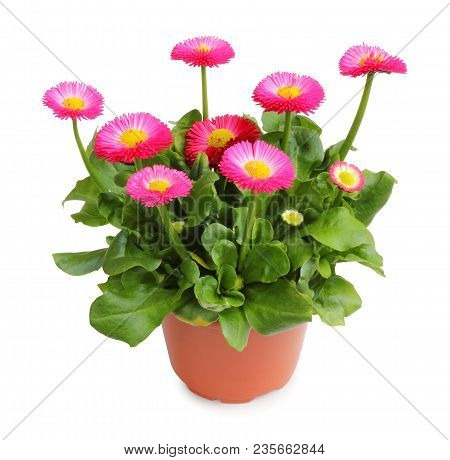 Wonderful Daisy Pot For Planting In The Spring Garden Isolated On White Background, Including Clippi