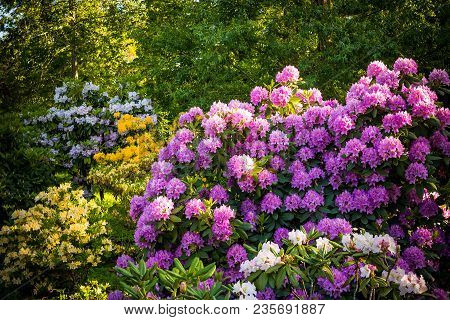 Rhododendron Plants In Bloom With Flowers Of Different Colors.rhododendron Plants In Bloom