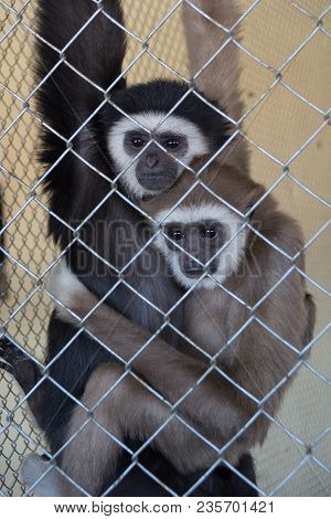 A Couple Of White Handed Gibbons Hylobates Lar In Zoo Cage, Shot Through The Cage. The Hot Embrace