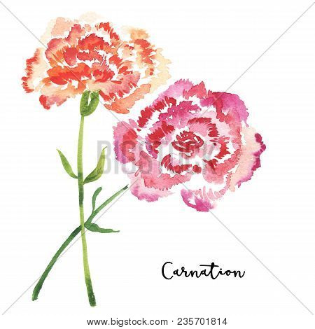 Two Sketch Style Watercolor Carnation Flowers Isolated On White Background. Beautiful Stylized Simpl