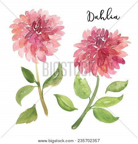 Two Sketch Style Watercolor Pink Dahlia Flowers Isolated On White Background. Beautiful Stylized Sim