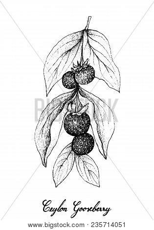 Berry Fruits, Illustration Of Hand Drawn Sketch Fresh Ceylon Gooseberries Isolated On White Backgrou