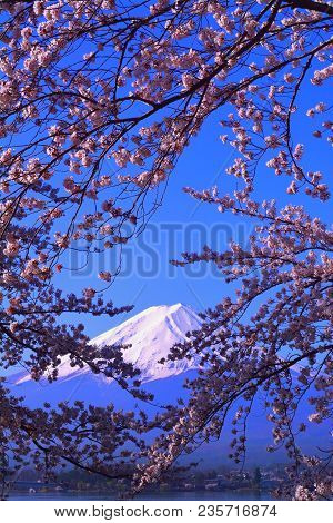 Cherry Blossoms In Blue Sky And Mt. Fuji From Lake Kawaguchi Japan 04/10/2018