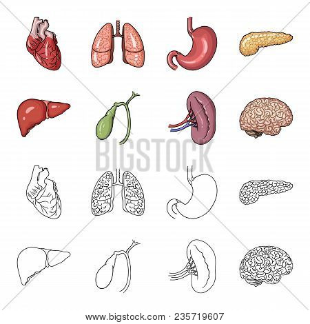 Liver, Gallbladder, Kidney, Brain. Human Organs Set Collection Icons In Cartoon, Outline Style Vecto