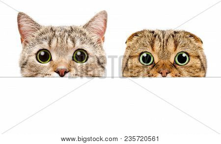 Portrait Of A Two Cats Peeking From Behind A Banner, Isolated On White Background