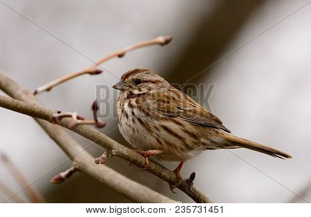 A Song Sparrow (melospiza Melodia), An Small Brown American Sparrow, Sitting On A Bare Branch, Shown