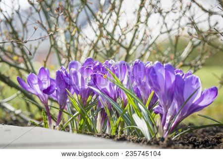 Purple Crocus Flowers In A Garden Flowerbed On A Sunny Day