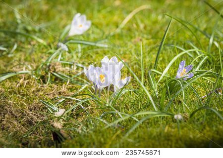 White Crocus Flowers In The Spring Sun On Green Grass In April