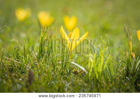 Yellow Crocus Flower Blooming In The Mornig Sun On Green Grass In April
