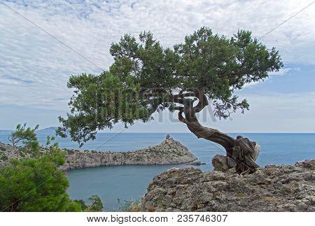 Relict Tree-like Juniper (juniperus Excelsa). On A Rock Above The Sea. Karaul-oba, Novyy Svet, Crime