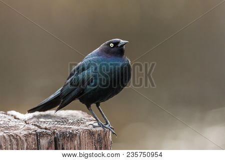 A brewer's blackbird is perched on a post in Hauser, Idaho.