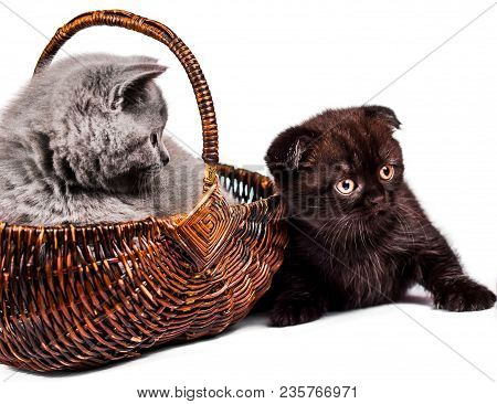 Scottish Straight And Scottish Fold Kitten. Funny Playful Cat Kitten Isolated On White Background. C