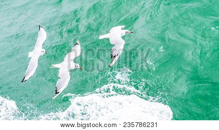 Flying Seagulls, Top View Silhouette. Bird Flies Over The Sea. Seagulls Hover Over Deep Blue Sea. Gu