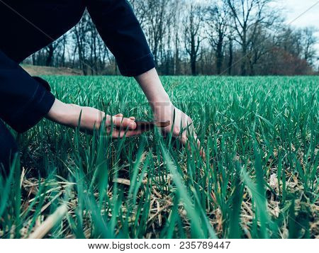 Young Agronomist Agriculture Woman Biologist Inspecting The Wheat Plant Harvest On - Cold Color Cast