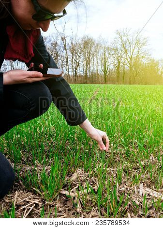 Female  Agronomist Agriculture Biologist Inspecting The Wheat Plant Harvest On A Warm Spring Day Wit