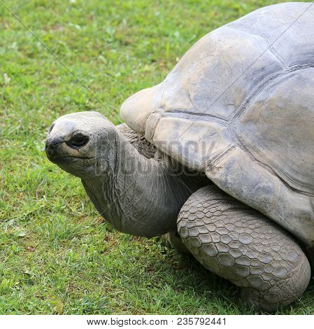 Very Big And Old Turtle With Robust Shel