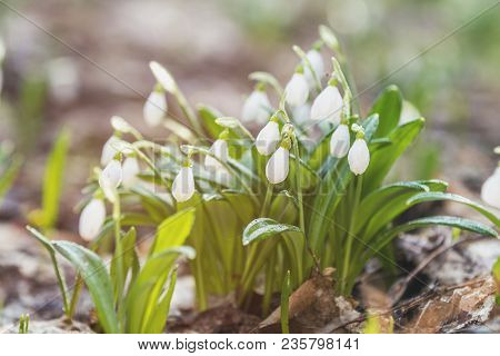 White Blooming Snowdrop Folded Or Galanthus Plicatus With Water Drops. Spring Sunny Day In The Fores