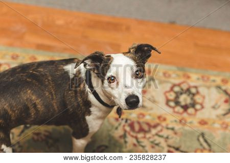 Small Dog With Brown Eyes And White, Black, And Brown Fur Looking Up With Innocent Expression.