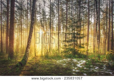 Bright Sunrise And Sunshine In Picturesque Spring Forest In Morning. Sun Rays Through Trees Of Fores