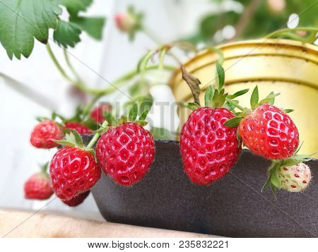 Berries Of Red Strawberries In A Flowerpot