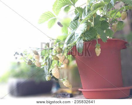 Berries Of White Strawberries In A Flowerpot