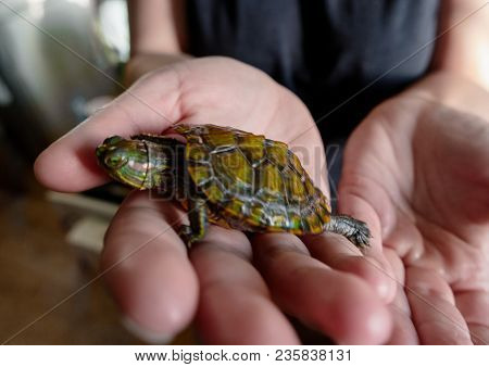 Small Turtle On The Human Palm Trying To Escape