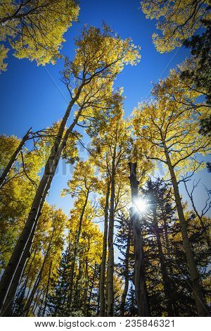 Colorful Arizona Quaking Aspen And Pine Forest In Autumn Along The Kachina Trail Near Flagstaff. Loo
