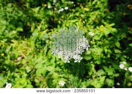 A Queen Anne Lace (daucus Carota) Flower, Also Called The Wild Carrot, Blooms In The Rock Run Preser