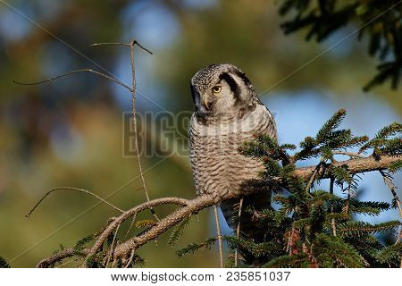 Northern Hawk-owl In Its Natural Habitat In Denmark