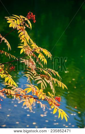 Rowan Branches With Ripe Red Berries Against The Background Of Colorful Water. Sorbus Aucuparia. Bac