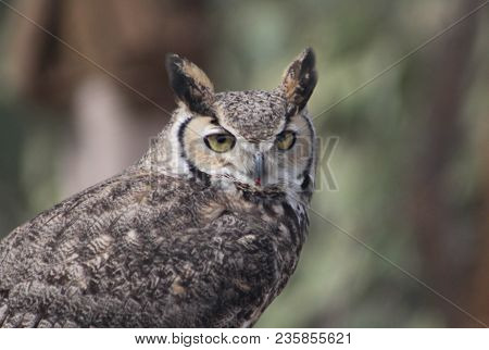 Horned  Screech Owll With White, Brown, Black And Gray Feathers