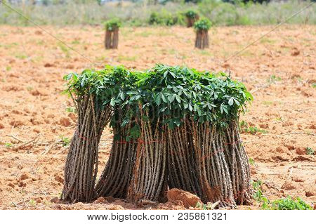 Bunches Of Cassava Tapioca Sticks On Ground Ready For Plantation